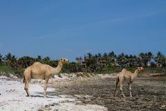 Стойка верблюдов на пляже Стоковое Фото