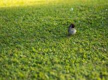 Стойка воробья на траве Стоковые Фото
