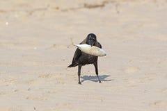 Стойка вороны дома на песке с рыбой в клюве Стоковое Изображение