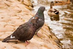 Стойка 2 голубей на каменном банке Стоковая Фотография RF