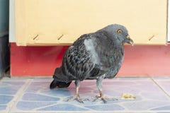 Стойка голубя птицы больная на плиточном поле Стоковое Изображение