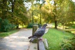 Стойка голубя на перилах в парке Стоковое Фото