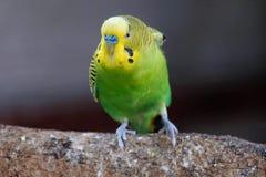 Стойка действия малого тела зеленого цвета головы желтого цвета попугая сердитая на древесине Стоковые Фото