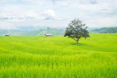 Стойка дерева в террасах риса на горе, и там хата в середине поля риса Стоковое Изображение