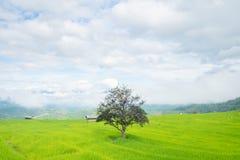 Стойка дерева в террасах риса на горе, и там хата в середине поля риса Стоковые Фото