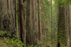 Стойка деревьев redwood побережья Стоковое Фото