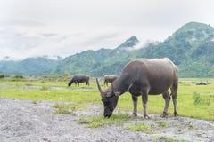Стойка индийского буйвола на злаковике Стоковое Изображение