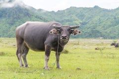 Стойка индийского буйвола на злаковике Стоковая Фотография RF