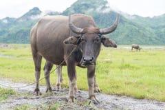 Стойка индийского буйвола на злаковике Стоковое Фото