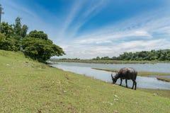 Стойка индийского буйвола на злаковике Стоковые Изображения