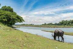 Стойка индийского буйвола на злаковике Стоковое Изображение RF