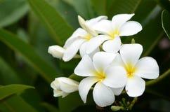 стойка Лаоса цветков стоковые изображения