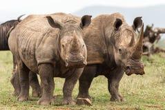 Стойка носорога совместно стоковое изображение