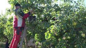 Стойка парня фермера на плодах яблока выбора лестницы и сбора от ветви дерева 4K акции видеоматериалы
