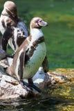 Стойка пингвина Гумбольдта на утесе Стоковая Фотография RF