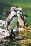 Стойка пингвина Гумбольдта на утесе Стоковое фото RF