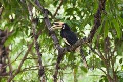 Стойка птицы птицы-носорог на дереве Стоковое Фото