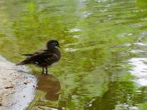 Стойка черной утки в озере или пруде с коричневой и зеленой водой Стоковые Изображения RF