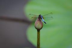 Стойка Dragonfly на цветке лотоса Стоковые Фотографии RF