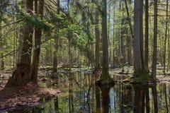 Стойка Riparian леса Bialowieza в солнце Стоковая Фотография RF