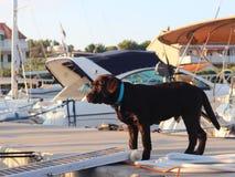 Стойки костюма коричневого цвета labrador пародийности собаки щенка на доке с плаванием плавать в Марине и смотрят мостк яхты Люб стоковые фотографии rf