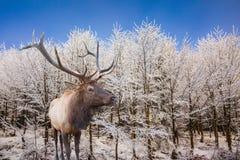 Стойки красных оленей antlered на лесе Стоковые Изображения