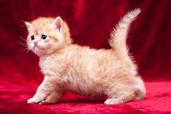 Стойки небольшие оранжевые великобританские котенка на 4 ногах перед камерой стоковая фотография