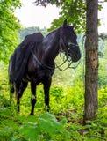 Стойки лошади связанные к дереву Стоковые Фотографии RF