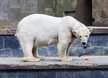 Стойки полярного медведя Стоковая Фотография RF