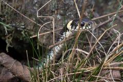 Стойки ужа ужа змейки положились из каменного отказа Молодая окружённая змейка, змейка травы, или змейка воды Eurasian не-ядовиты Стоковые Изображения RF