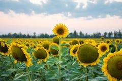 Стойте вне и быть различным фото концепции Голова солнцецвета вышеуказанна и стоит вне среди всех других солнцецветов на фоне стоковые изображения rf