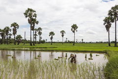 Стойте рис завода одного азиатского фермера стоящий в поле Стоковые Изображения RF