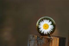 столб загородки маргаритки Стоковое Фото
