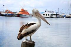 столб пеликана Стоковое фото RF