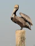столб пеликана Стоковое Изображение RF