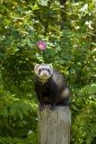столб ferret Стоковое Фото