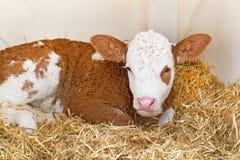 сторновка коровы икры младенца Стоковое Изображение RF