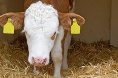 сторновка коровы икры младенца Стоковая Фотография RF