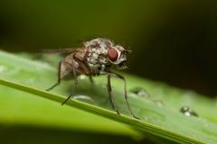 сторновка травы мухы Стоковое фото RF