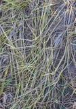 сторновка Стоковые Фотографии RF