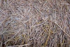 сторновка Стоковая Фотография RF