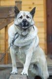 Сторожевой пес Стоковое фото RF