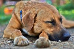 Сторожевой пес Стоковое Фото