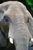 Сторона африканского слона Стоковое фото RF