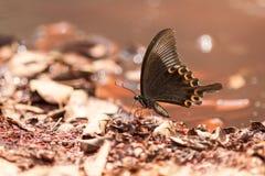 Сторона бабочки павлина Парижа Стоковые Фото