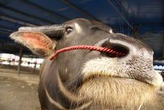 сторона буйвола Азии Стоковые Фотографии RF