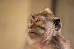 Сторона длинн-замкнутой балийцем обезьяны макаки стоковое изображение rf
