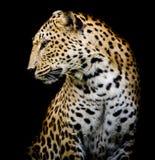 Сторона леопарда Стоковая Фотография RF