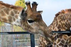 Сторона жирафа головная Стоковое Изображение