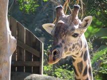 Сторона жирафа стоковые фото